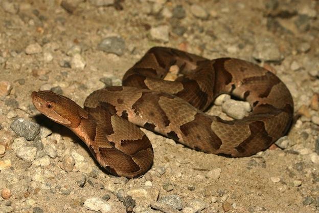 Información sobre la serpiente cabeza de cobre