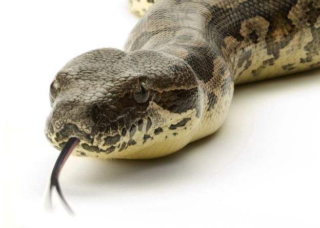 Anatomía de la Serpientes - Serpientes, Información y Características