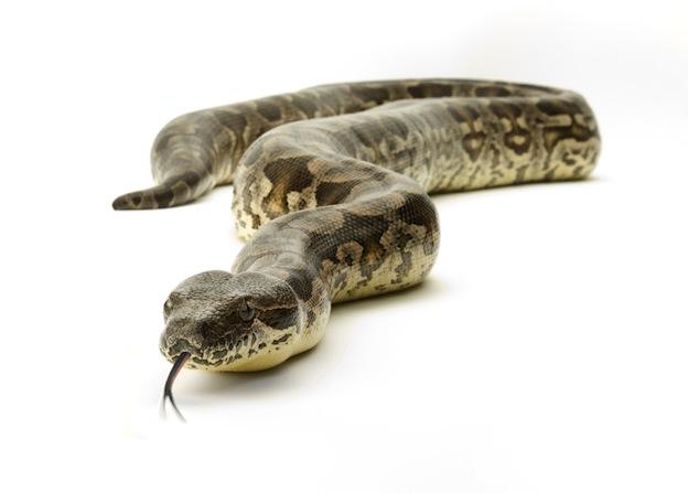 Descripción de la boa constrictora.
