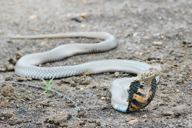 Locomoción de las serpientes.