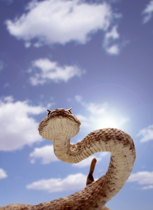 Beautiful Rattlesnake