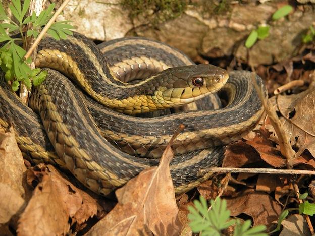 Características de la serpiente de liga.