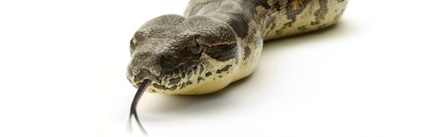 Boa Constrictor - Snake Facts and Information
