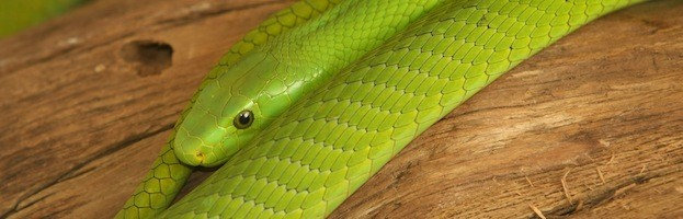 Especies de Serpiente