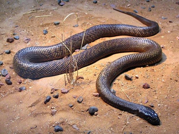 Características de la serpiente taipán.